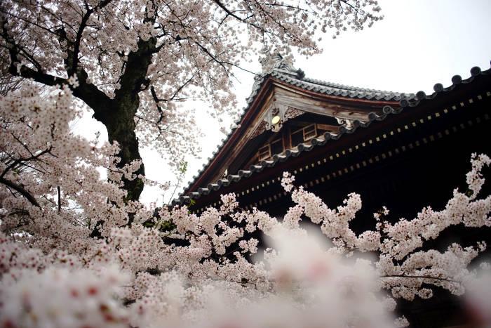 В Японию на цветение сакуры